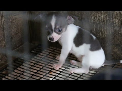 Thumbnail: Rescued Puppy Mill Dogs Get a Second Chance