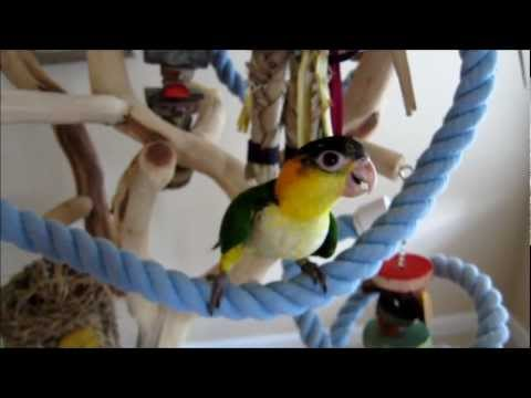White Bellied Caique Babies — 9-10 weeks old