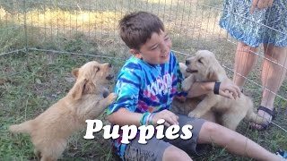 Golden Retriever Puppies Attack!