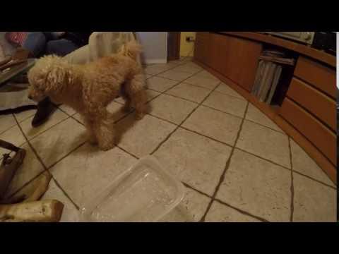 Funny/Stupid Poodle Dog