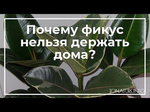 Почему фикус нельзя держать дома? | toNature.Info