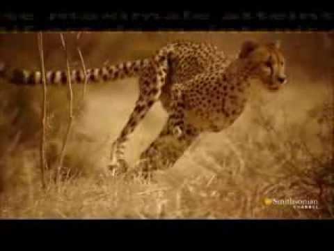 la course du guépard: élégance et performance