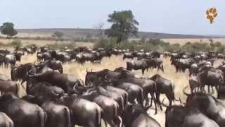 Дикая Африка. Природа Кении - Великая Миграция в Масаи-Мара