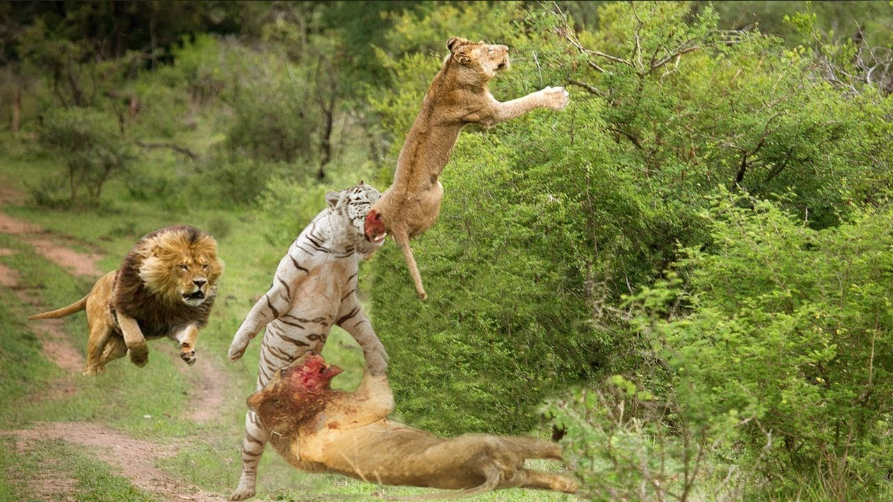 Wild Animals Fight To The Death Hd Lion White Lion Tiger