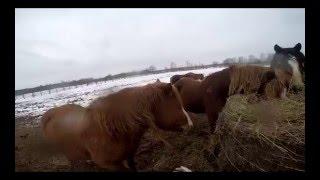 Обзор башкирской породы лошадей