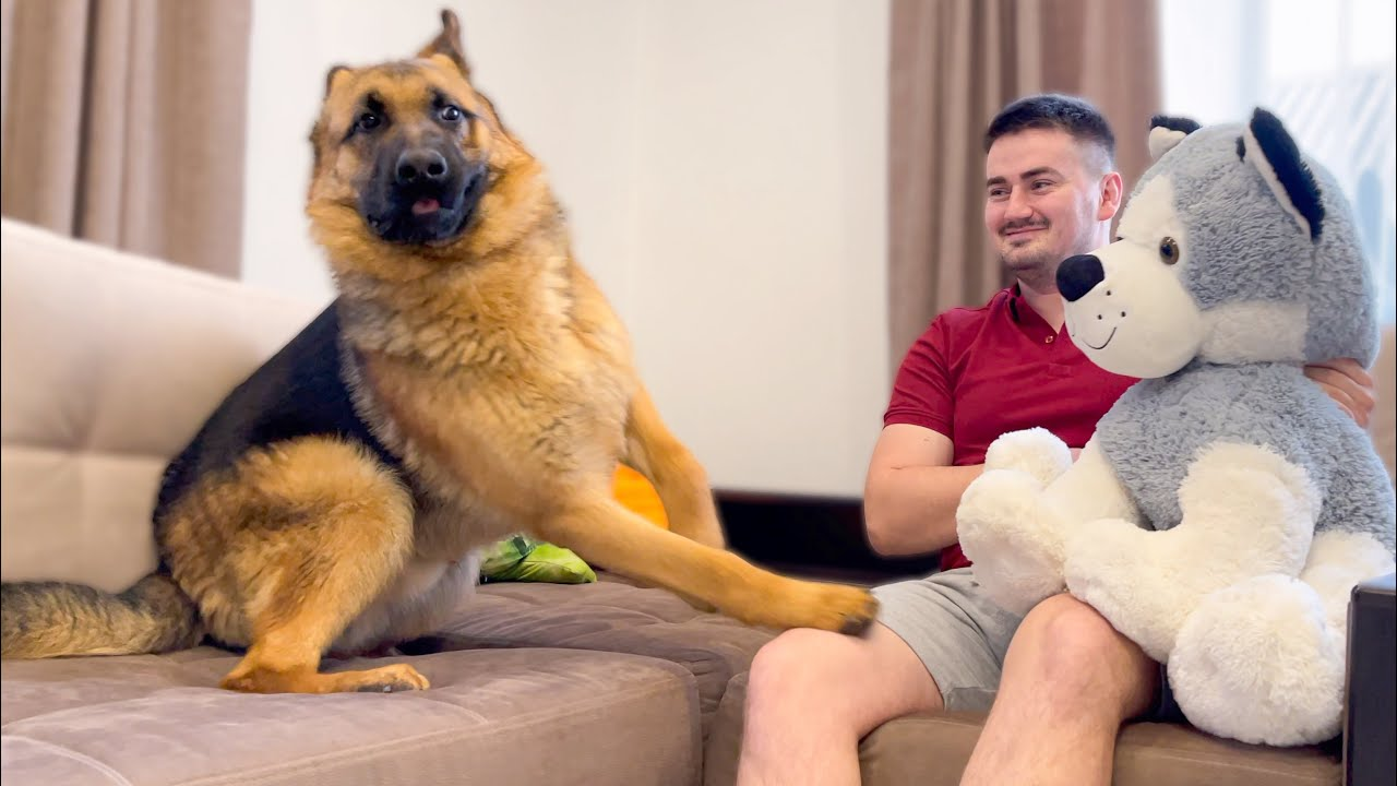 German Shepherd Confused by a Meeting with Husky Stuffed Toy