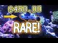 RARE COWFISH! $450.00 black and white CLOWNFISH! Fishstore TOUR!