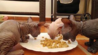 Cute sphynx kittens breakfast time / 5 weeks old / DonSphynx