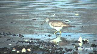 キアシシギ Grey-tailed Tattler