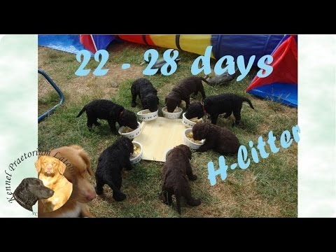 Curly coated retriever puppies 22 - 28 days old
