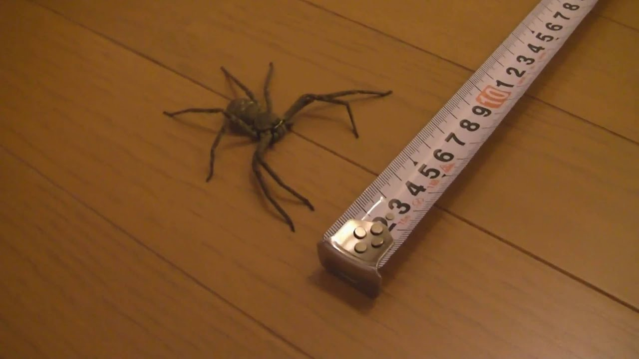 Pictures of a giant house spider
