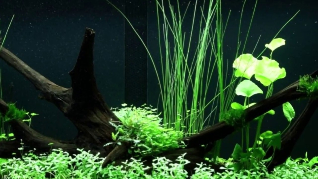 Stunning 300L Nature Aquarium Layout with Driftwood ...