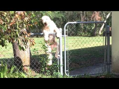 Funniest Goldendoodle Escape Ever