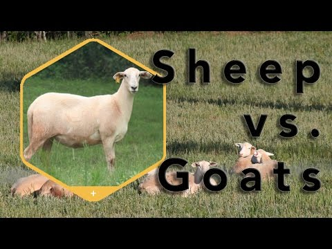 Homesteading Considerations: Sheep or goats?