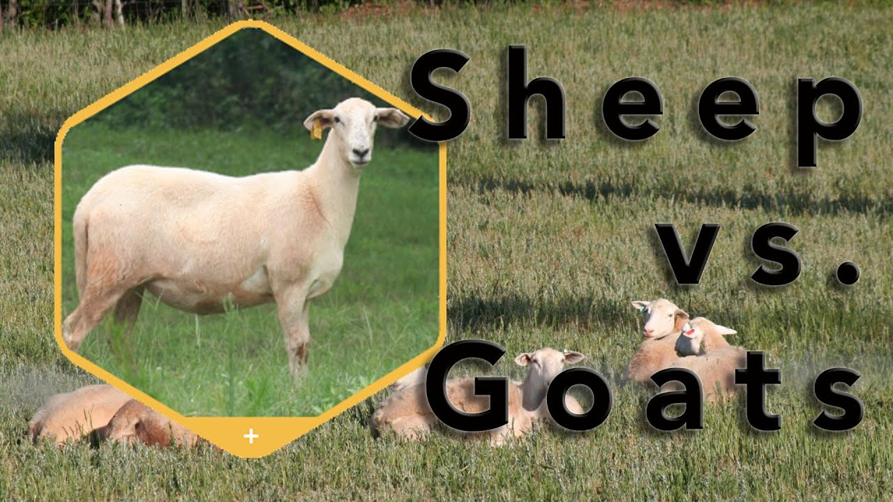 homesteading considerations sheep or goats youtube