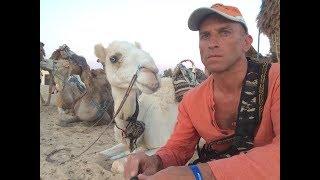 В стаде верблюдов один самец!Закат в пустыне:квадроциклы и верблюды.Экскурсия в Сахару.Тунис.Ф-151.