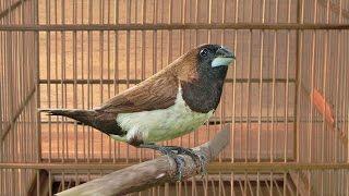 Kicau Burung Emprit Kaji Gacor Rasa Kenari