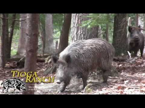 Trophy Russian Boar Hunting - Wild Boar Hunts In PA | Tioga Ranch