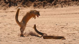 duel deadly cobra vs mongoose civet edible fear cobra cobra snake king