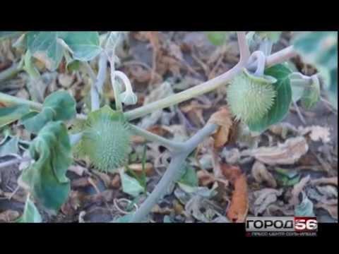 Ядовитое растение клещевина обыкновенная: польза и вред