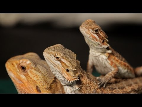 8 Care Tips for Bearded Dragons | Pet Reptiles