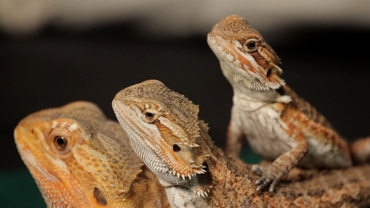 8 Care Tips for Bearded Dragons | Pet Reptiles - YouTube