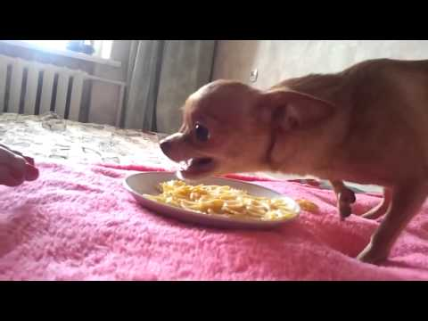 Чихуахуа и макароны. Видео про животных, смешное до слез