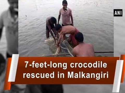 7-feet-long Crocodile Rescued In Malkangiri - #Odisha News