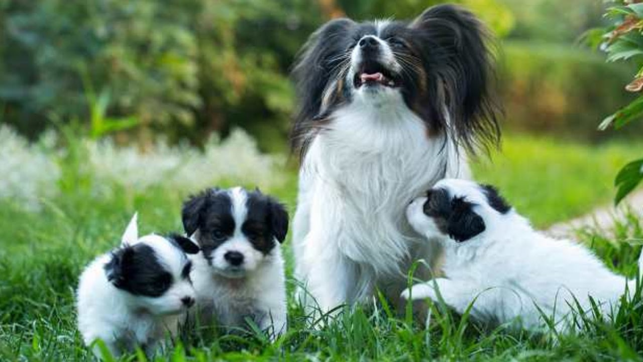 Papillon Dog - Amazing dog breed have Butterfly-like of ears