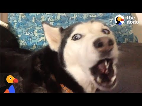 Thumbnail: ANGRY Husky Can't Resist Singing Her Favorite Song | The Dodo