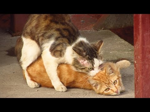 Cats mating on the street