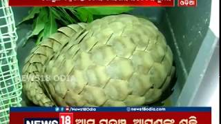 ମାଆ-ଛୁଆ ୨୨ ଲକ୍ଷ:  Pangolin smuggling racket busted, 4 arrested from Mayurbhanj | News18 Odia