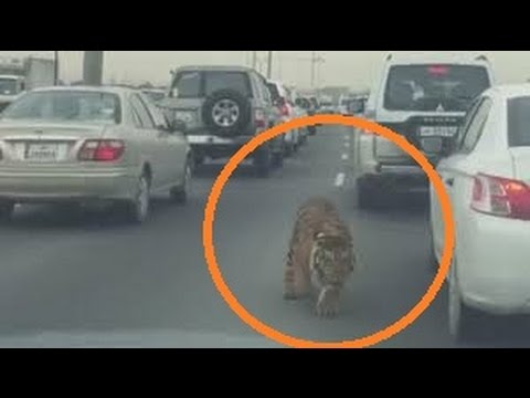 SHOCKING VIDEO: TIGER Escapes from Their Owner Down the Motorway in Qatar