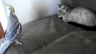 Cockatiel singing to a cat... I mean a KITTEN