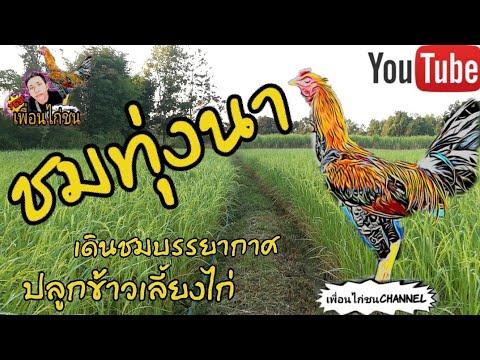 ชมบรรยากาศชายทุ่ง อากาศยามเช้าๆทำเกษตรปลูกข้าวเลี้ยงไก่