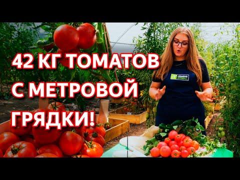 Самый урожайный сибирский томат! Крупноплодный томат устойчивый к болезням!