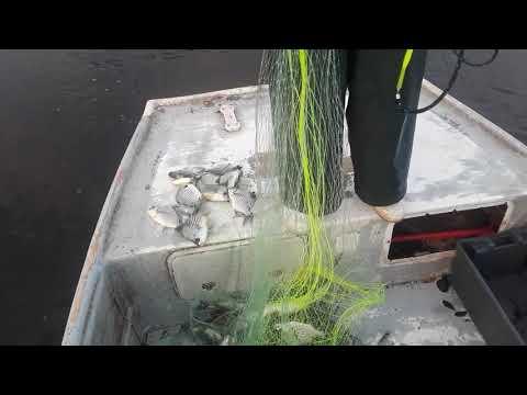 Slaying The Brim Roe Mullet Fishing