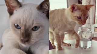 TONKINESE CATS 2021