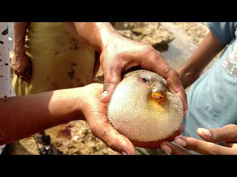 Globe fish caught on sandspit karachi