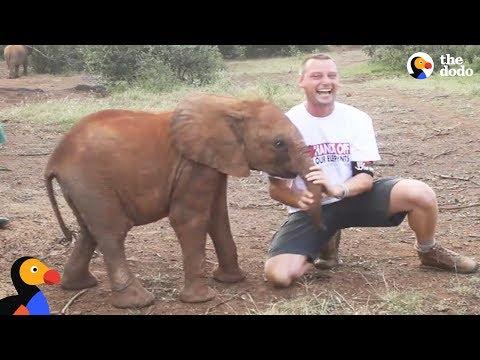 Baby Elephant ATTACKS Man   The Dodo