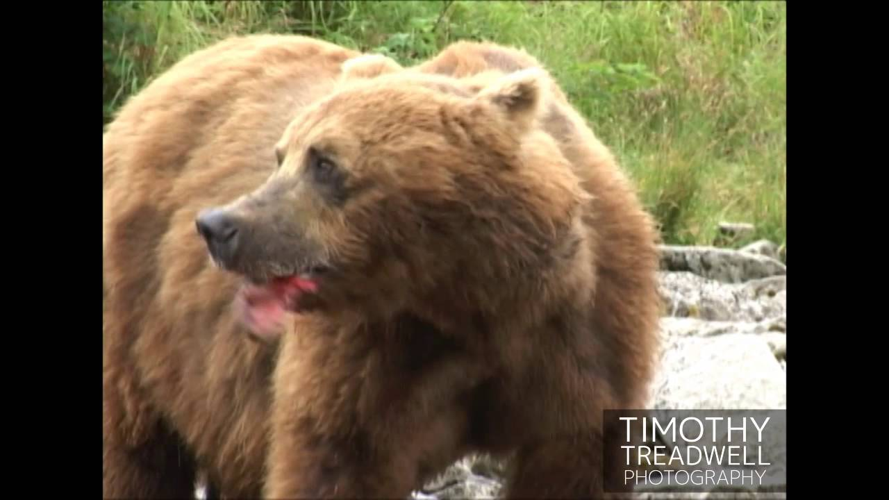 timothy treadwell 8 bears are not humans they are wild animals majestic and beautiful of course black, brown, polar all need protect.
