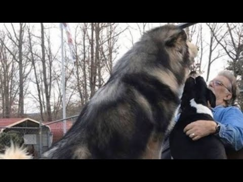 Life With Malamutes Giant Alaskan Malamute Big Daddy Diesel Truly Is A Gentle Giant Youtube She is busy bringing up her little brother, marc, and has an intense relationship with her father, christian. youtube