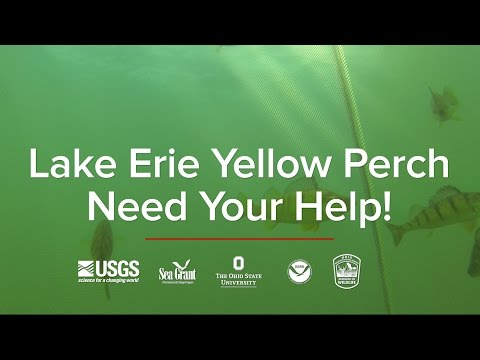 Lake Erie Yellow Perch Need Your Help!