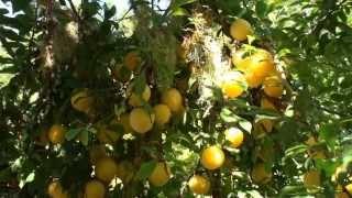 Golden Plum Harvest, Aug. 14, 2013  (HD)
