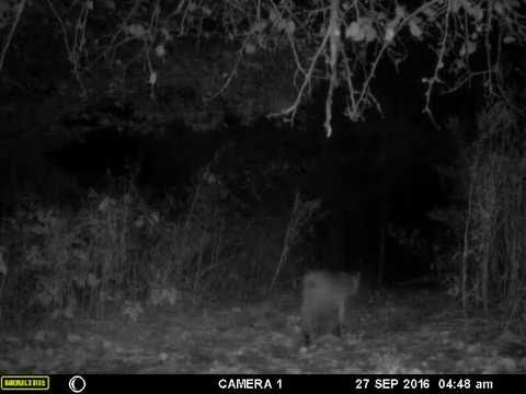 Bobcat on Moultrie Game Camera