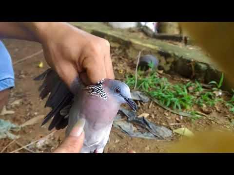 Hướng dẫn chọn chim cu gáy #2