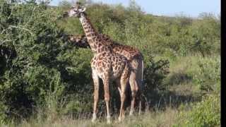 Жирафы.