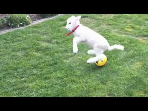 Lucy the pet lamb plays ball