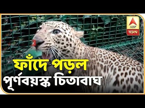 Leopard trapped at Maraghat Tea Estate at Jalpaiguri | ABP Ananda