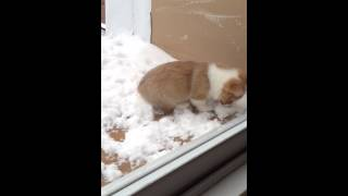 Corgi Puppy Playing In The Snow